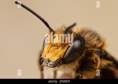 Red Mason Bee, Osmia bicornis - Stock Photo