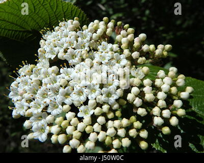 Blooming Wayfaring Tree,(Viburnum lantana) - Stock Photo