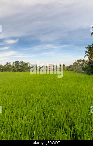 Rice terraces near Ubud in Central Bali, Indonesia - Stock Photo