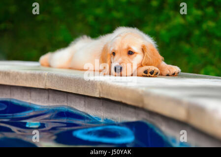Funny photo of lazy little golden retriever labrador puppy lying stretched on swimming pool side. Training dogs, - Stock Photo