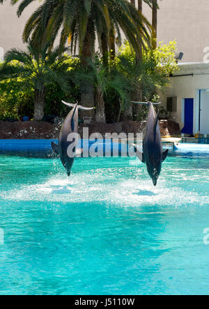 Two dolfins jump out of the water in unison on comand from a trainer at the Mirage, Secret Garden in Las Vegas, - Stock Photo