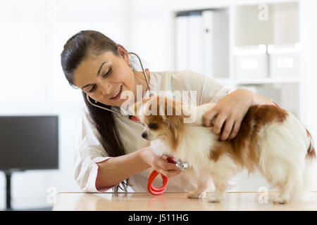Veterinarian checks the health of a dog, that is on the table - Stock Photo