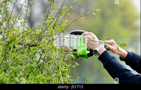 Trimming a Hedge with Electric Hedge Trimmer. - Stock Photo