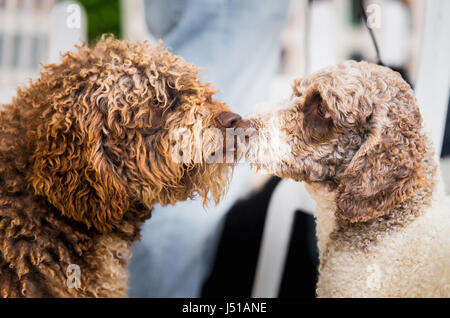 two lovely Spanish Water Dogs kissing. Indoor portrait - Stock Photo