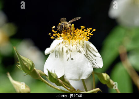 Bee collecting pollen on rosa canina wild flower - Stock Photo
