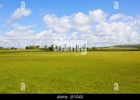 green meadows with sheep and poplar trees and scenic hills in the background in the yorkshire wolds under a blue - Stock Photo
