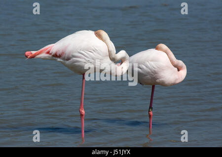 Two sleeping greater flamingos with their necks folded over their bodies stand on one leg in the water of a lagoon. - Stock Photo