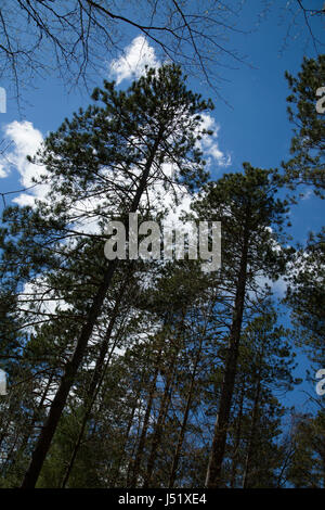 Tall evergreen trees in a Canadian forest in front of a blue sky with puffy white clouds. - Stock Photo