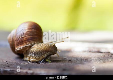 Burgundy snail (Helix pomatia, Roman snail, edible snail, escargot) crawling on wooden surface. Copy space - Stock Photo