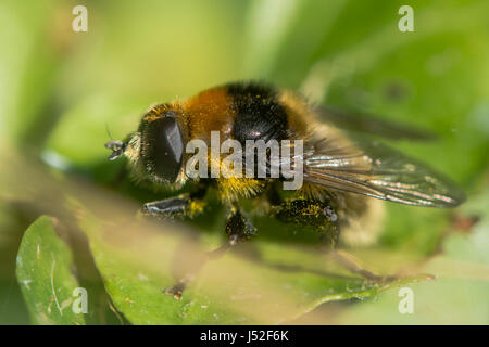 Narcissus Bulb Fly (Merodon equestris). Hairy bumblebee mimic in the family Syrphidae, subfamily Merodontini, aka - Stock Photo