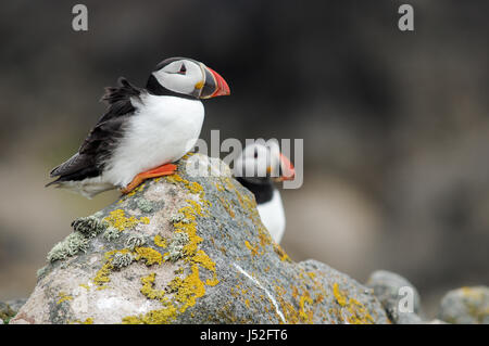 Pair of Atlantic puffins perched on a rock - Saltee Islands, Ireland - Stock Photo