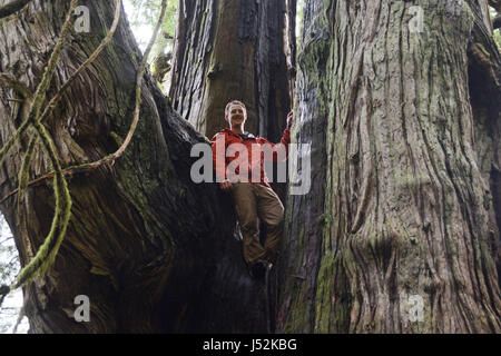 A Canadian environmentalist standing in a giant old growth western red cedar tree on Vancouver Island, British Columbia, - Stock Photo