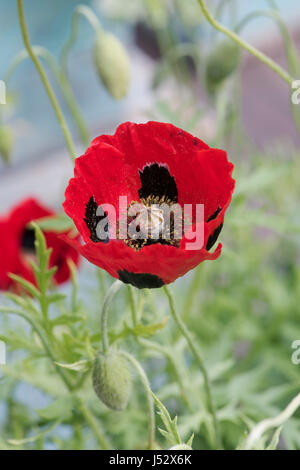 Papaver commutatum. Ladybird poppy. UK