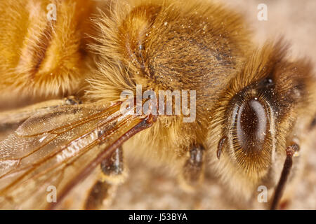 Eye and wing of a working bee extreme macro close up - Stock Photo
