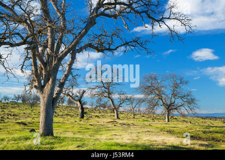 Oak woodland, Sacramento River Bend Area of Critical Environmental Concern, Paynes Creek Wildlife Area, California - Stock Photo