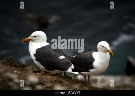 Two Western Gulls (Larus occidentalis) Sea Gulls on lookout. - Stock Photo