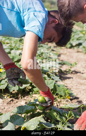 boy is picking up the cucumbers - Stock Photo