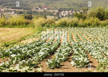 Cabbage field in summertime - Stock Photo