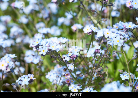 Blue flowered water forget-me-not (Myosotis scorpioides) plants growing in a English country garden flowerbed, UK. - Stock Photo