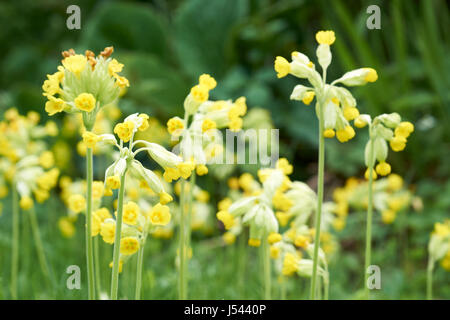Cowslips (Primula veris) growing in an English country garden, UK. - Stock Photo