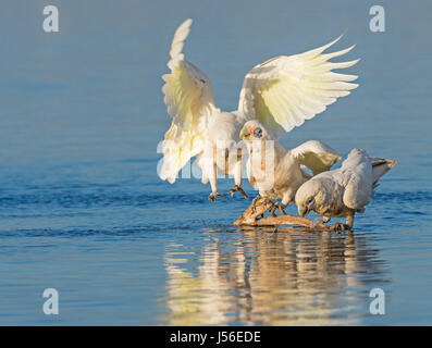 Two Little Corellas (Cacatua sanguinea) drinking while a third bird approaches the drinking spot at Herdsman Lake - Stock Photo