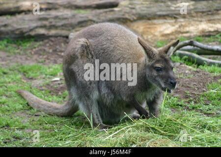 zoo australia kangaroo opossum bennett-knguru zootier fressendes knguruh sendes - Stock Photo