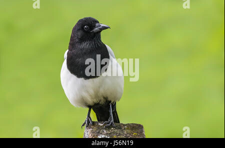 Eurasian Magpie bird (Pica pica) perched on a post in West Sussex, England, UK. - Stock Photo
