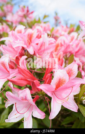 Rhododendron, Rhododendron 'Pink Pearl', Mass of pink coloured flowers growing outdoor. - Stock Photo
