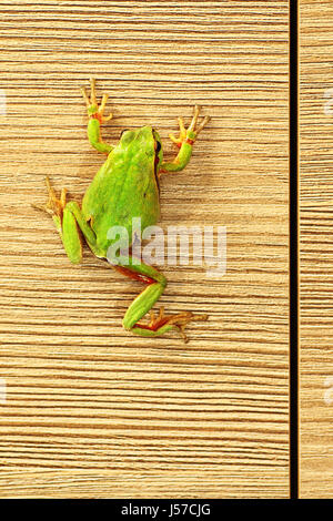 cute green tree frog climbing on furniture ( Hyla arborea ) - Stock Photo