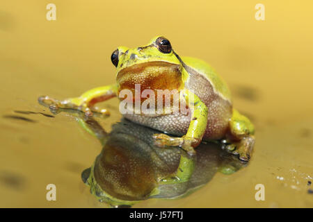 cute tree frog looking at the camera ( Hyla arborea, male curious animal ) - Stock Photo
