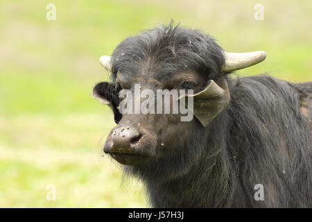 portrait of domestic buffalo over out of focus background ( V - water buffalo, calf )