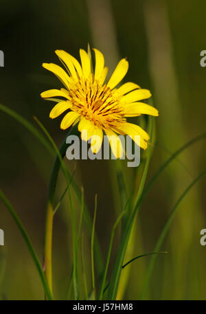 Meadow Salsify flower close up. Europe, Poland, Holy Cross Mountains. - Stock Photo