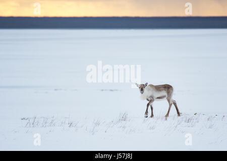 Icelandic reindeer in north east Iceland - Stock Photo