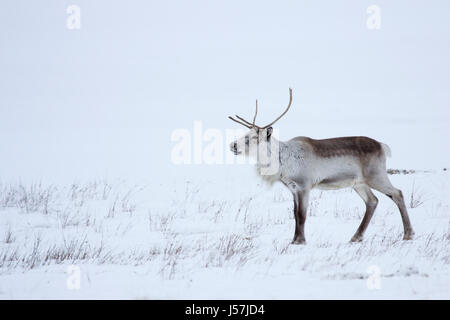 Icelandic reindeer in north east Iceland - Stock Photo