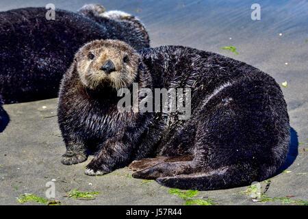 California Sea Otter Stock Photo