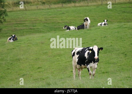 agriculture farming cow livestock cows cattle dairy cattle willow khe auf der - Stock Photo