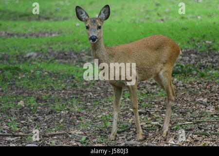 roe hunting chase hart stag europisches reh capreolus capreolus waldtier - Stock Photo