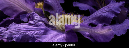 'The President' Clematis - Stock Photo