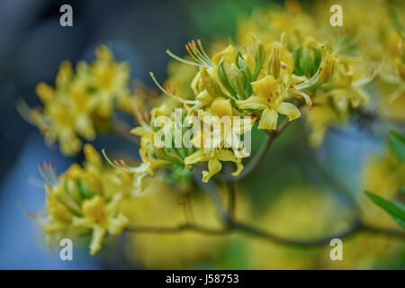 Yellow fragrant azalea blossom close up yellow azalea honeysuckle azalea Rhododendron luteum - Stock Photo