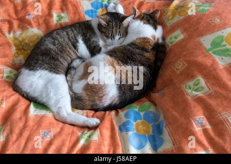 Two domestic tabby cats cuddling and  sleeping on a bed. - Stock Photo