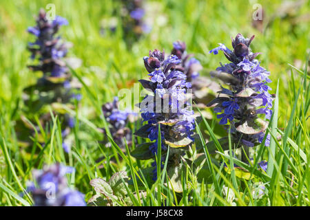 Kriechender Günsel, Ajuga reptans, bugle, blue bugle, bugleherb, bugleweed, carpetweed, carpet bungleweed, common - Stock Photo
