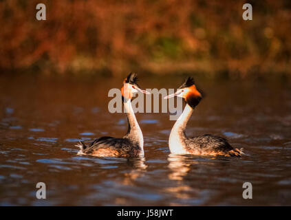 Great Crested Grebe, Podiceps cristatus, Regents Park, London, United Kingdom - Stock Photo