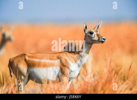 Indian Blackbuck, Antilope cervicapra, Blackbuck National Park, Velavadar, Gujarat, India - Stock Photo
