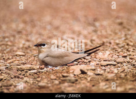 Small Indian Pratincole, Little Pratincole or Small Pratincole, (Gladiola lacteal), on ground nest, Rajasthan, India - Stock Photo