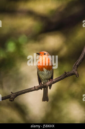 European Robin, Erithacus rubecula, perched on branch, Regents Park, London, United Kingdom - Stock Photo