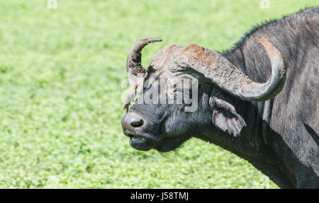 Cape Buffalo (Syncerus caffer) with Red-billed Oxpecker (Buphagus erythrorhynchus) on its Face in Northern Tanzania - Stock Photo