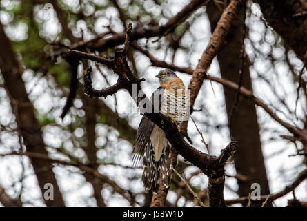 Red-chested Cuckoo (Cuculus solitarius) Perched in a Tree in Northern Tanzania - Stock Photo