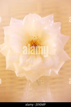present shine shines bright lucent light serene luminous colour emotions flower - Stock Photo