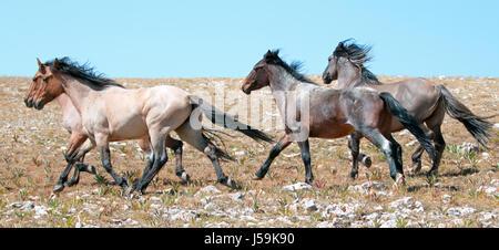 Wild Horse herd of mustangs running in the Pryor Mountains of Montana USA - Stock Photo