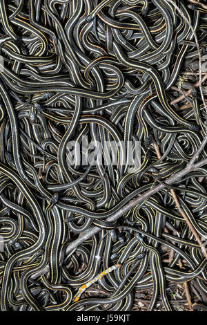 Red-sided Garter Snakes gathered in annual mating ritual in the Narcisse Snake Dens, Narcisse, Manitoba, Canada. - Stock Photo